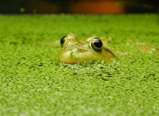 Duckweed Is No Longer The Ugly Duckling